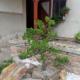 Niwaki v zahradě
